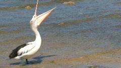 Australian Pelican walking Stock Footage