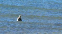 Australian Pelican in the sea - stock footage