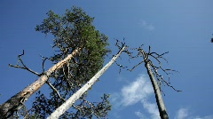 Two dead trees towering in a forest. Stock Footage