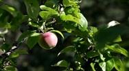 Ripe apple hanging on a tree. Stock Footage