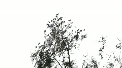 Bohemian Waxwings (Bombycilla garrulus) Stock Footage