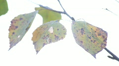Birch leaves in autumn, shivering in a light breeze. Stock Footage