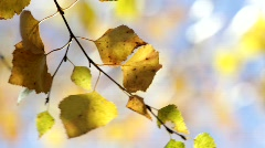 Birch tree (Betula sp.) in autumn on a sunny day. - stock footage