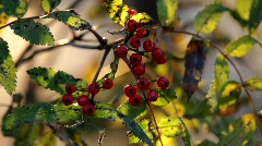 Ripe fruits of a rowan tree (Sorbus aucuparia)  Stock Footage