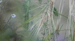 Organic barley field (Hordeum vulgare) Stock Footage