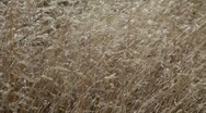 Grasses are shaken by an autumn wind. Stock Footage