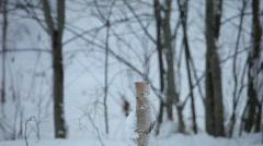 Three Eurasian jays (Garrulus glandarius) Stock Footage