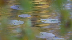 Leaves of water lilies (Nymphaea sp.) Stock Footage