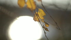 Autumn-colored birch leaves Stock Footage