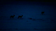 Four roe deer (Capreolus capreolus) in winter Stock Footage