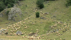 Shepherd leads the sheep to the mountain pastures - stock footage