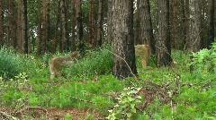 Malawi: monkeys in a wild forest 2 Stock Footage