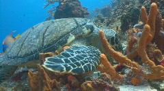 Turtle feeding sponge marine ocean life Stock Footage