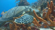 Stock Video Footage of Turtle feeding sponge marine ocean life
