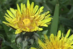 Dandelions shake on a wind Stock Footage