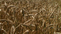 Traveling Through Wheat Field Stock Footage