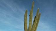 Saguaro Sun Dance Stock Footage