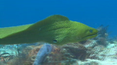 Eel green moray swimming 2 shots Stock Footage