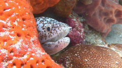 Eel heads sticking out of coral 2 shots Stock Footage