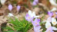 Spring Flowers saffron 01 Stock Footage