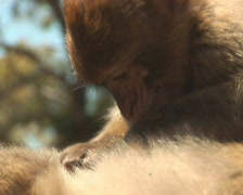 PAL: Barbary apes Stock Footage