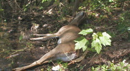 Dead Deer by River Bank clip 3 Stock Footage