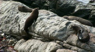Stock Video Footage of seals chill
