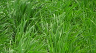 Grassy Field Blowing Stock Footage