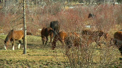 lovely Horses at Leisure on Ranch playing eating and rolling in the Dirt - stock footage