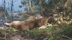 Dead Deer by River Bank clip 1 Stock Footage