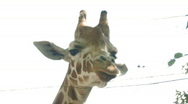 Stock Video Footage of giraffe head hdf