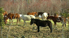 Gorgeous Horses milling around in the trees on this Picturesque Hobby Ranch Stock Footage