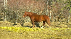 Action tracking shot of brown Horse Trotting up straw lined trail toward Gate Stock Footage