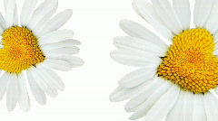 Heart-daisy Stock Footage