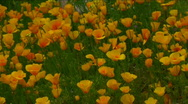Mexican Poppy Field Stock Footage