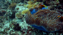 Anemone with clownfish Stock Footage