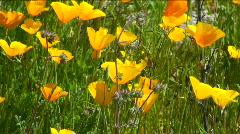 Poppy Bloom Stock Footage