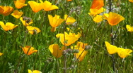 Poppy Bloom Stock Footage