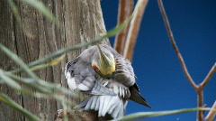 Cockatiel grooming Stock Footage