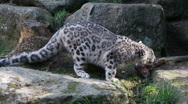 Stock Video Footage of snow leopard eating