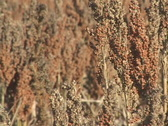 Stock Video Footage of Sorghum Grain