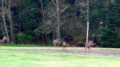DeerJumps - stock footage