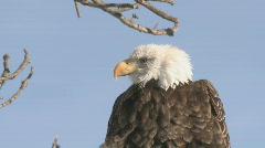 P00908 Closeup of Bald Eagle Head Stock Footage
