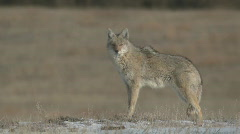 P00909 Wild Coyote at Custer State Park Stock Footage