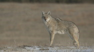 Stock Video Footage of P00909 Wild Coyote at Custer State Park