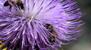 Two Bees On Thistle Stock Footage