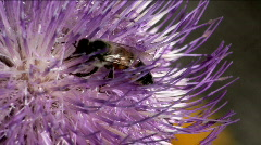 Bee Purple Thistle Close Up - stock footage