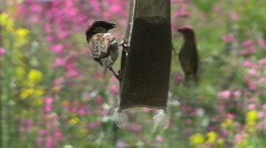 Bird Feeder Tussle Stock Footage