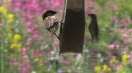 Stock Video Footage of Bird Feeder Tussle