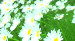 jHD - Seasons - Spring - Daisies In The Breeze 00136 - stock footage